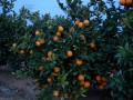 NARANJAS SENENT NARANJAS ON LINE (Rafelbunyol - Valencia) - Foto 2